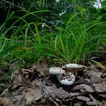 Lactifluus bertillonii - rýdzik Bertillonov