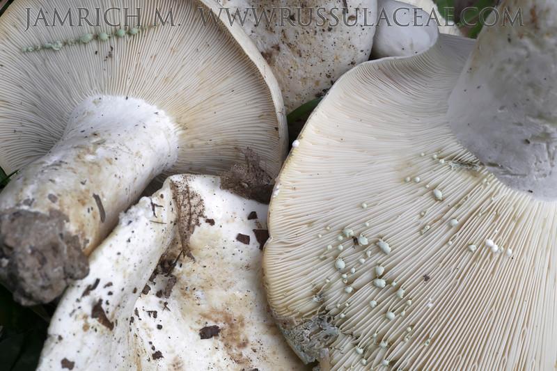 Lactifluus glaucescens - rýdzik zelenejúci