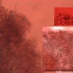 Lactifluus oedematopus - rýdzik (surovičkový)