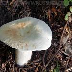 Lactifluus piperatus - rýdzik korenistý