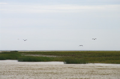 Geese, salt marsh, and James Bay (brown coloured) in the background.