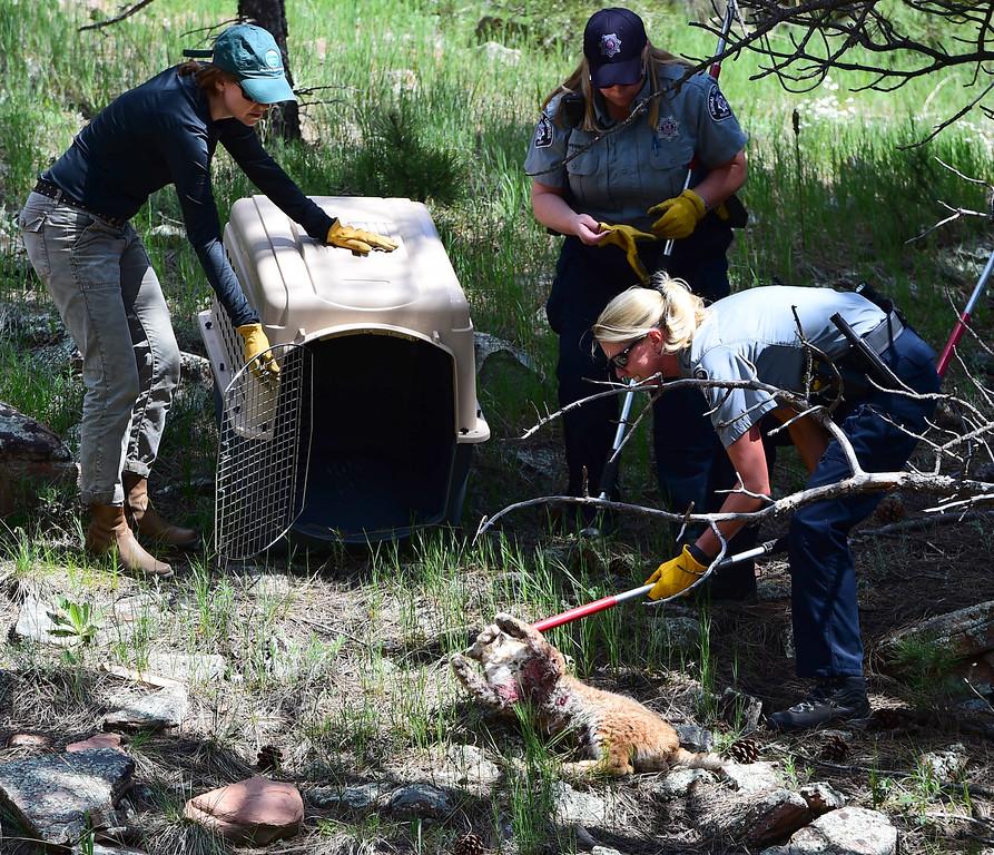 Injured Bobcat at Heil Valley Ranch