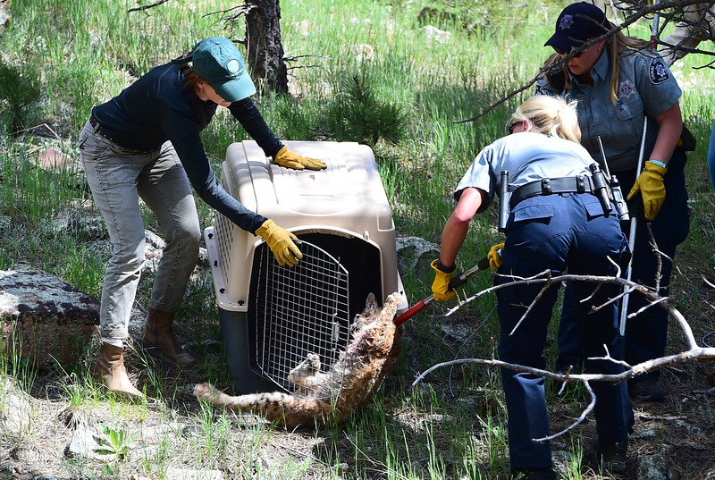 Injured Bobcat at Heil Valley Ranch