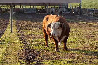 The Bull again