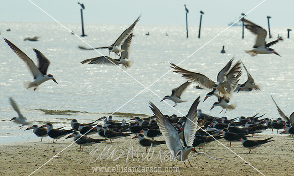 Skimmers Waveland crop 2536