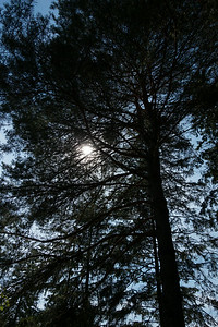 Sun Through The Pines