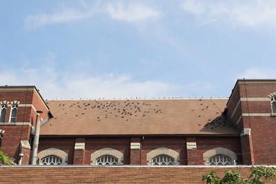 Trinity Pigeons