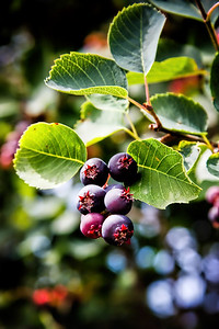 Saskatoon Berry Plant