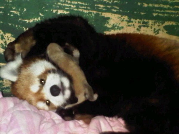 Red Panda mother, Pip, with baby Qiji born on August 1, 2011.<br /> <br /> Photo taken on August 1, 2011