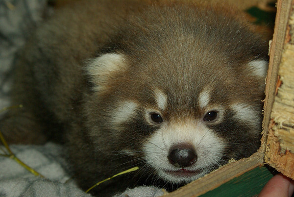 Red Panda Cub, Qiji, born August 1, 2011 at the Edmonton Valley Zoo<br /> <br /> Photo taken on: September 12, 2011