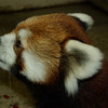 Red Panda Mother, Pip at the Edmonton Valley Zoo<br /> <br /> Photo taken on: September 12, 2011