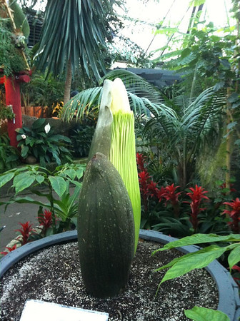 "Photo: April 8, 2013<br /> <br /> The corpse flower (Amorphophallus Titanum) is in a flowering stage. Growing at a rapid rate of six inches per day, ""Putrella"" (Pew-trella) has wowed us since the tiny bud appeared mid-March. The extraordinary flower is expected to bloom in a few short weeks and, as the world's tallest blossom, could reach a height of 10 feet. This will be first time that Western Canada has ever seen an Amorphophallus bloom."