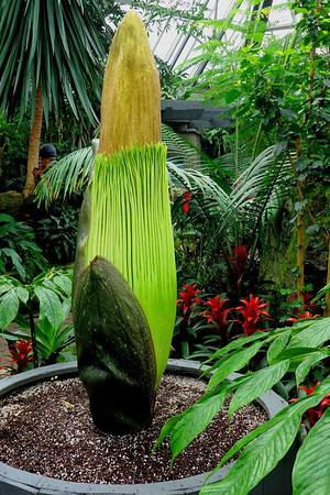 "Photo: April 11, 2013<br /> <br /> The corpse flower is 60"" tall, up 7 inches from April 10."