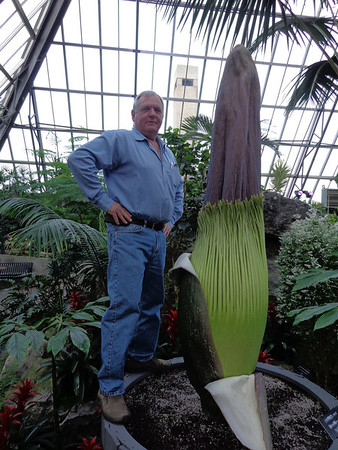 """Photo: April 15, 2013<br /> <br /> Putrella has grown another 4"""" and currently stands at 79"""" (6'7"""") or 200.7cm.<br /> <br /> Grower James McIvor inspects the spadix (flower spike) of Putrella, Muttart's giant corpse flower. When the plant is ready for pollinators, this spadix will heat up to 36˚C, emitting the wondrously smelly stench the plant is named for. In its native Sumatra, Indonesia, the plant is known as """"bunga bangkai"""" -- """"bunga"""" means """"flower"""" and """"bangkai"""" means """"corpse"""" or """"cadaver""""."""
