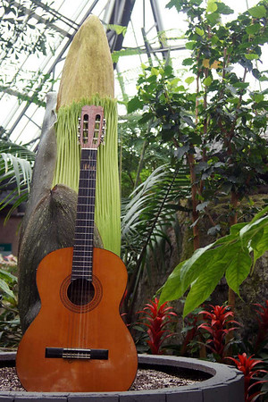Photo April 10, 2013<br /> <br /> How tall is Putrella? To give you a sense of her current size, here's Putrella next to a guitar.