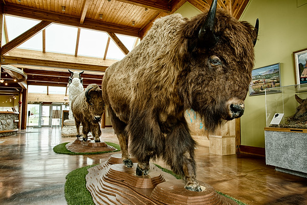 Buffalo on Display