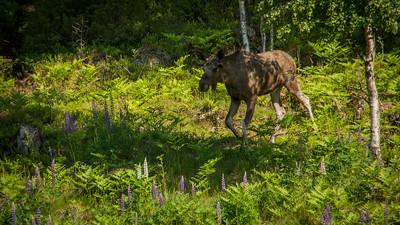 Elgtun- Orvar kommer løpende til mat