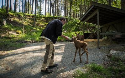 Elgtun - Johannes mater de 6 dager gamle kalvene