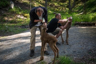 Elgtun - Kristoffer og Johannes mater de 6 dager gamle kalvene