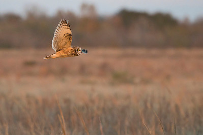 Short-eared Owl Hunting, Wings Level