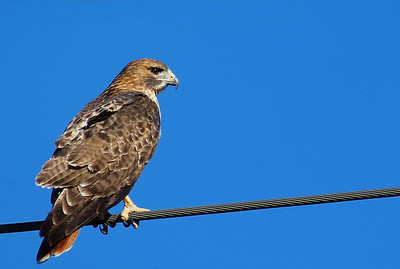 Red-tailed Hawk, one of eight we counted on the way to Attwater Prairie Chicken NWR