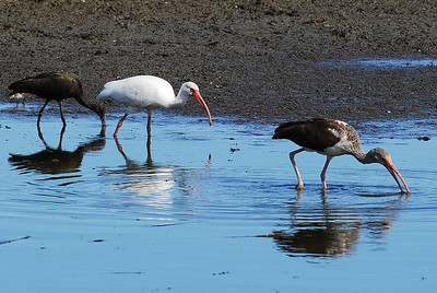 An immature and adult white ibis with a white faced ibis