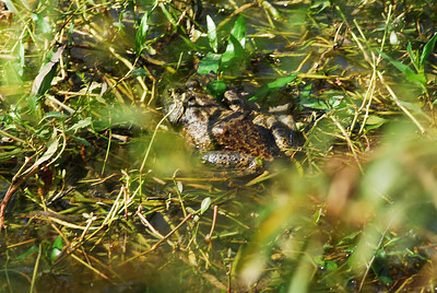 Bullfrog, one of several lying in the shallow water