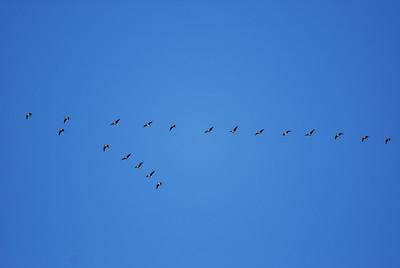 White-fronted Geese (Speklebellies)