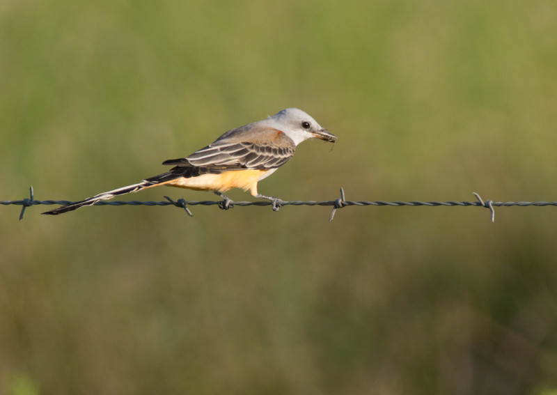 Scissor Tailed Flycatcher With Bug