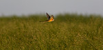 Scissor Tailed Flycatcher Sunset With Bug