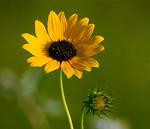 Prairie Sunflower