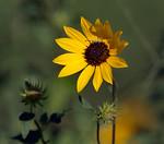 PrairieSunflowerCrabSpider,sRGB17x15x300,001379
