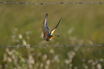 Scissor Tailed Flycatcher On the Hunt