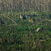 """Four Attwater Prairie Chickens.  My Sony 'G' series 70-400mm lens had an extra lens element, a curved and dirty piece of automotive quality side window van glass.<br /> <br /> Information on the Attwater Prairie Chicken -  <a href=""""http://www.fws.gov/refuge/Attwater_Prairie_Chicken/wildlife/APC.html"""">http://www.fws.gov/refuge/Attwater_Prairie_Chicken/wildlife/APC.html</a>"""