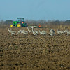 Some of the approximately 200+ Sand Hill Cranes that were taking advantage of the recent sowing of millet and soy bean seeds in the plowed fields.