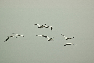 Flight of the Gannets