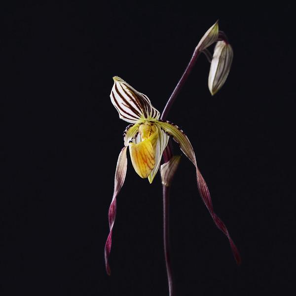 Paphiopedilum roebelenii