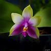 Phalaenopsis bellini 2