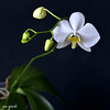Phalaenopsis ambitis var. aurea