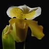 Paphiopedilum spicerianum x Stone Lovely  Cha - Ching