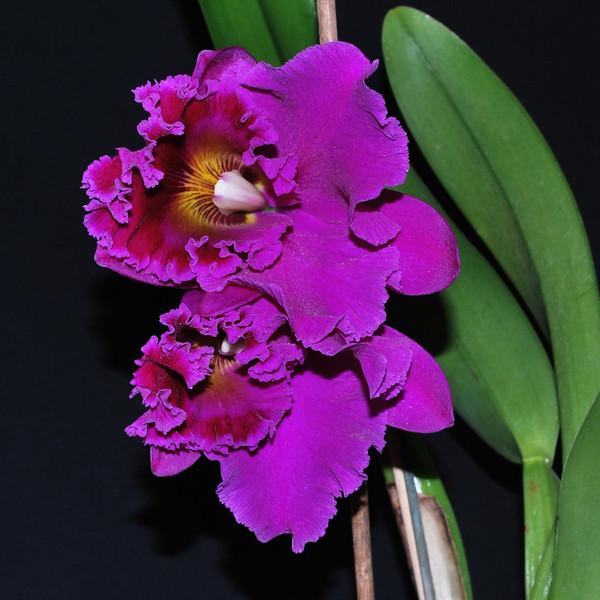 Rhryncholaelio cattleya cornestone orchis