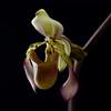 Paphiopedilum Rickardianum x sib
