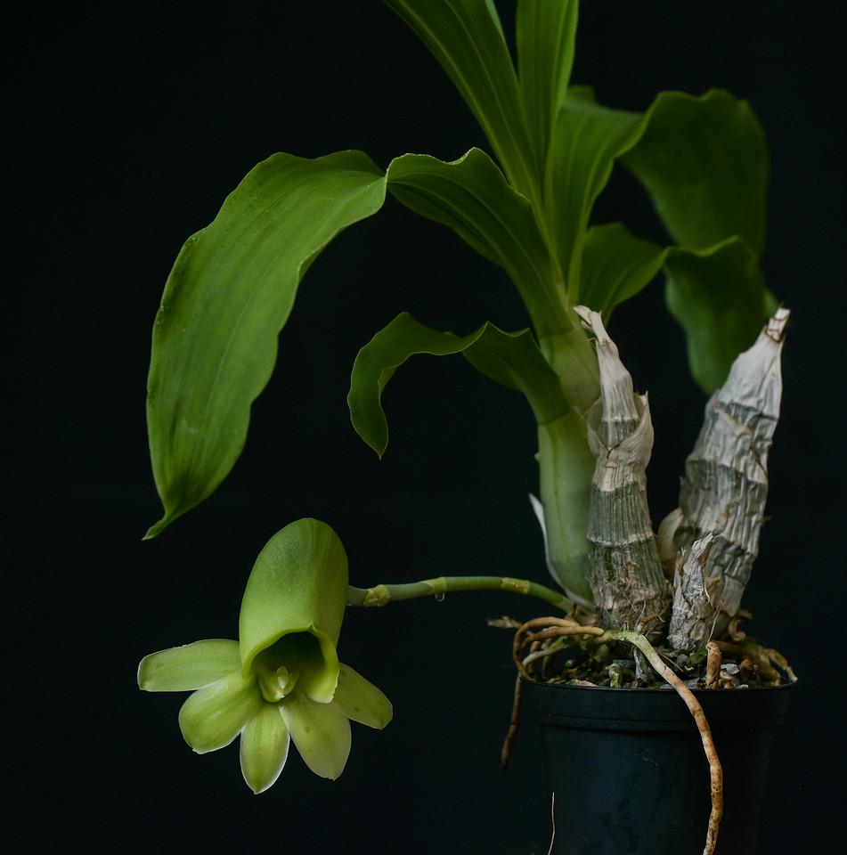 Catasetum pileatum Pierre Couret x pileatumRed Pena_13072017