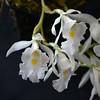 Thricopilea hennisiana 2