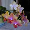Phalaenopsis cultivar