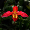 Phragmepedium 'Fox Valley Flame'