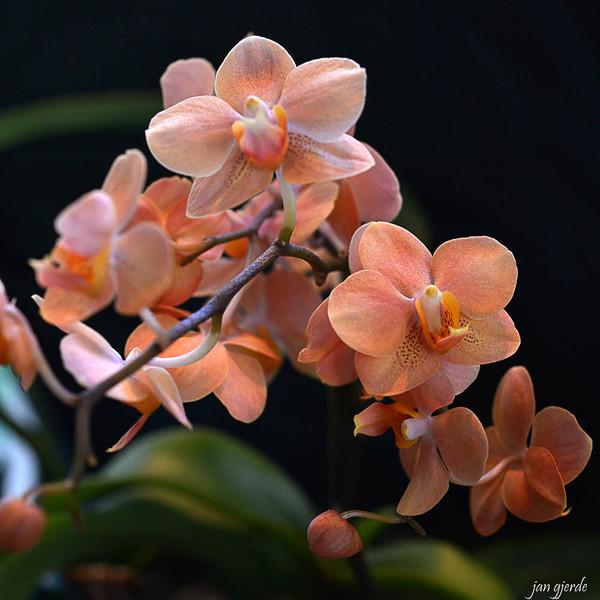 Phalaenopsis Ascps Irene Dobkin