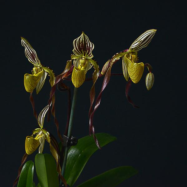 Phalaenopsis viebellinii