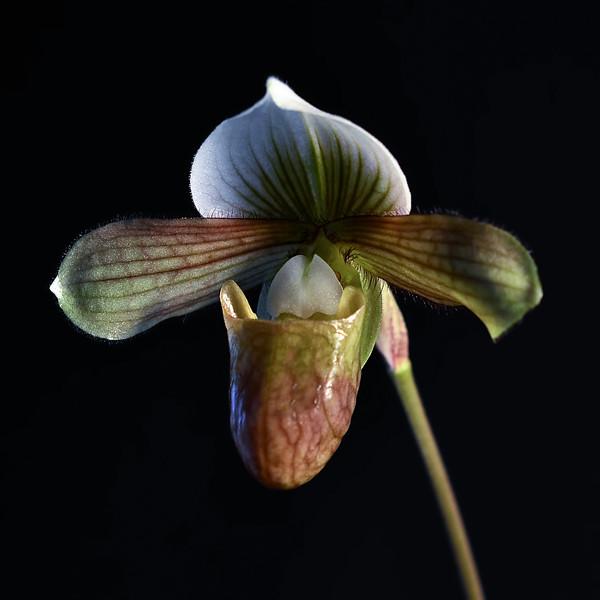 Paphiopedilum venustum X charleswortii
