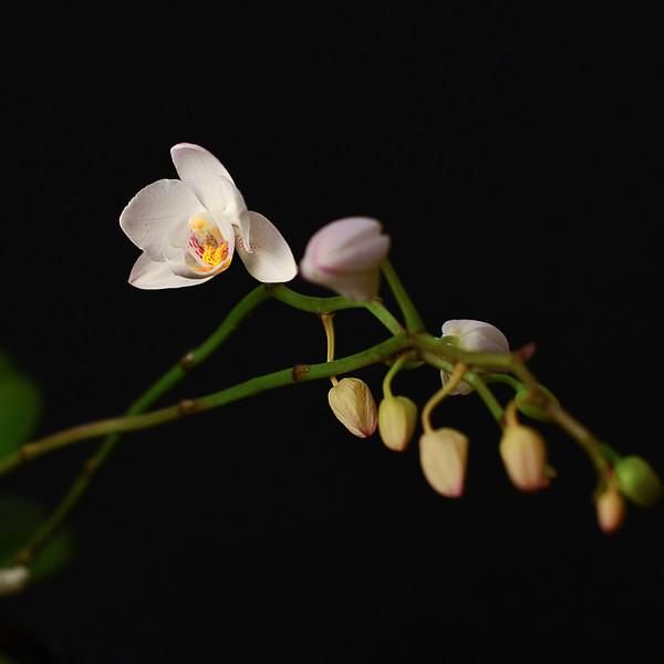 Phalaenopsis miniature
